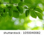 green leaves on the spring tree ... | Shutterstock . vector #1050040082