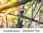 bird  collared kingfisher ... | Shutterstock . vector #1050047726