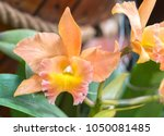 Cattleya Flowers Bloom In...