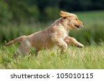 Stock photo golden retriever puppy runs over the meadow 105010115