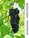 bunch of black grapes in vinery ... | Shutterstock . vector #1050140258