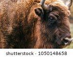 bull bison closeup portrait in... | Shutterstock . vector #1050148658