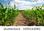 dirty foliage of green corn ... | Shutterstock . vector #1050163082