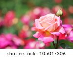 Stock photo close up of garden rose 105017306