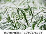 fresh green grass under the snow | Shutterstock . vector #1050176375