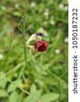 Small photo of Beautiful weedy flower, grass flower, wildflower.