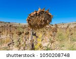 closeup of field of dry or... | Shutterstock . vector #1050208748
