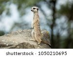 rodent in the zoo | Shutterstock . vector #1050210695