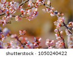 beautiful plum blossom in... | Shutterstock . vector #1050240422