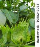 close up green cotton flower... | Shutterstock . vector #1050243035
