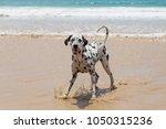 Happy Dalmatian Dog On The...