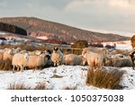 sheep on the braes of abernethy ... | Shutterstock . vector #1050375038