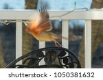 Small photo of A female cardinal takes flight