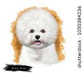 bichon frise  bichon tenerife ... | Shutterstock . vector #1050384236
