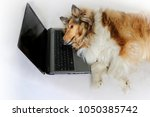 photo of collie dog lay down... | Shutterstock . vector #1050385742