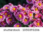 Chrysanthemums In The Nikitsky...