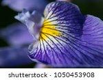 True Water Iris  Iris...
