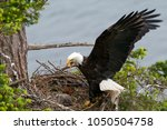 Bald Eagle Arriving At The Nest ...