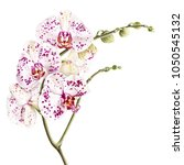 watercolor phalaenopsis orchid... | Shutterstock . vector #1050545132