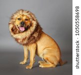 """The Dog """"lion King"""" A..."""