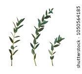 thyme leaf green vector... | Shutterstock .eps vector #1050564185
