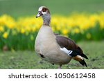 Portrait Of An Egyptian Goose ...