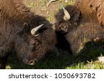 Two Young Bison Practice Their...