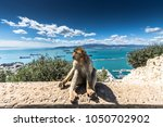 The Barbary Macaque Monkeys Of...