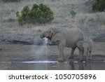 a family of elephants in kruger ... | Shutterstock . vector #1050705896