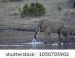 a family of elephants in kruger ... | Shutterstock . vector #1050705902