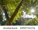 Small photo of American Elm tree in Central park NY in spring with sun shining through the branches