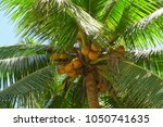 green tropical coconut palm... | Shutterstock . vector #1050741635