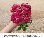 red rose withered in lady hand. | Shutterstock . vector #1050809672
