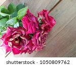 red rose withered on wooden... | Shutterstock . vector #1050809762