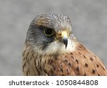 Kestrel Falcon at game fari Co Antrim Northern Ireland