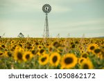 Sunflowers amongst a field next to a windmill in the afternoon in Nobby, Toowoomba Region, Queensland.
