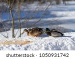 several wild ducks and a drake... | Shutterstock . vector #1050931742