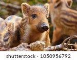 Beautiful Little Pigs Wild In...