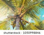 big tropical palm tree with... | Shutterstock . vector #1050998846