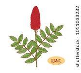 sumac. plant. inflorescence ... | Shutterstock .eps vector #1051033232