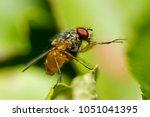 male common fruit fly ... | Shutterstock . vector #1051041395