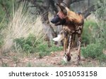 a portrait of a african wild dog   Shutterstock . vector #1051053158