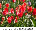 red beautiful tulips field in... | Shutterstock . vector #1051068782