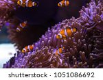 clownfish and sea anemone rely... | Shutterstock . vector #1051086692