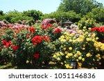 Stock photo keisei rose garden in yachiyo city chiba 1051146836