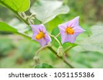 Twin Eggplant Flowers And A...