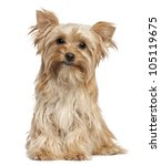 Stock photo yorkshire terrier sitting against white background 105119675