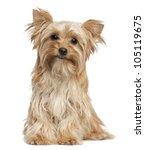 Stock photo yorkshire terrier sitting against white background 105119675
