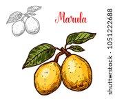 marula exotic fruit vector... | Shutterstock .eps vector #1051222688