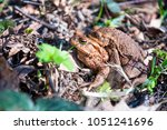 the pairing of common toads ... | Shutterstock . vector #1051241696